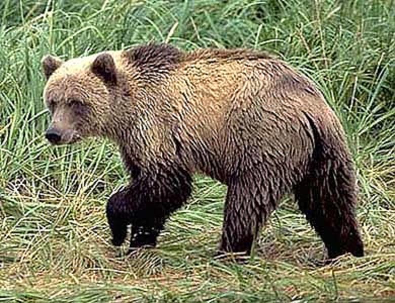 Бурый медведь.  Фото с сайта msu.ru.